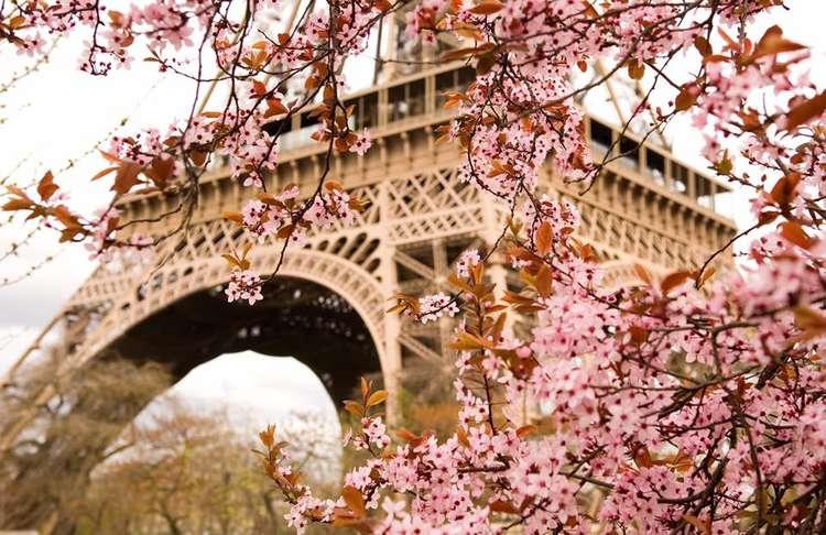 wieże eiffla za różowymi kwiatami
